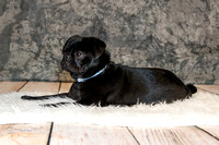 "Pug,""Smiling Dog Photography"""
